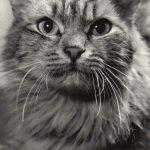 Фото Эриха Тылинека. Кошка № 001 150x150 - Кошки чёрно-белые