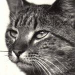 Фото Эриха Тылинека. Кошка № 003 150x150 - Кошки чёрно-белые