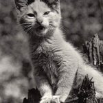 Фото Эриха Тылинека. Кошка № 004 150x150 - Кошки чёрно-белые