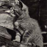 Фото Эриха Тылинека. Кошка № 005 150x150 - Кошки чёрно-белые