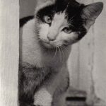 Фото Эриха Тылинека. Кошка № 006 150x150 - Кошки чёрно-белые
