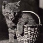 Фото Эриха Тылинека. Кошка № 008 150x150 - Кошки чёрно-белые