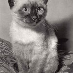 Фото Эриха Тылинека. Кошка № 010 150x150 - Кошки чёрно-белые