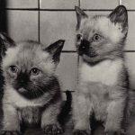 Фото Эриха Тылинека. Кошка № 011 150x150 - Кошки чёрно-белые