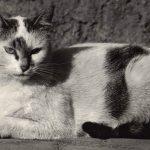 Фото Эриха Тылинека. Кошка № 013 150x150 - Кошки чёрно-белые