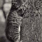 Фото Эриха Тылинека. Кошка № 014 150x150 - Кошки чёрно-белые