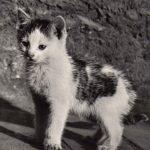 Фото Эриха Тылинека. Кошка № 015 150x150 - Кошки чёрно-белые