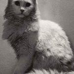 Фото Эриха Тылинека. Кошка № 017 150x150 - Кошки чёрно-белые