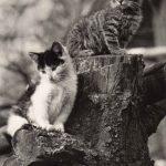 Фото Эриха Тылинека. Кошка № 020 150x150 - Кошки чёрно-белые