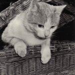 Фото Эриха Тылинека. Кошка № 021 150x150 - Кошки чёрно-белые