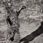 Фото Эриха Тылинека. Кошка № 022 150x150 - Кошки чёрно-белые