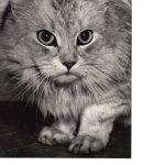 Фото Эриха Тылинека. Кошка № 024 150x150 - Кошки чёрно-белые