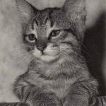 Фото Эриха Тылинека. Кошка № 025 150x150 - Кошки чёрно-белые