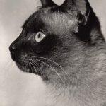 Фото Эриха Тылинека. Кошка № 026 150x150 - Кошки чёрно-белые