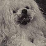 Французская болонка 150x150 - Собаки чёрно-белые