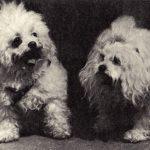 Французские болонки 150x150 - Собаки чёрно-белые