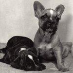 Французские бульдоги 150x150 - Собаки чёрно-белые