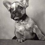 Французский бульдог 150x150 - Собаки чёрно-белые