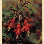 Фуксия 2 150x150 - Цветы