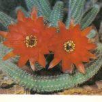 Хамецереус Сильвестра 150x150 - Цветы