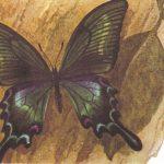 Хвостоносец Маака  150x150 - Бабочки