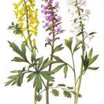 Хохлатки 150x150 - Цветы