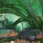 Хромис красавец 150x150 - Аквариумные рыбки