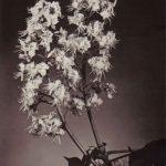 Цветок каштана 150x150 - Цветы