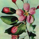 Цветок яблони Макамик 150x150 - Цветы