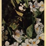 Цветущая вишня 150x150 - Цветы