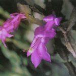 Цветущий кактус 2 150x150 - Цветы
