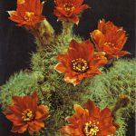 Цветущий кактус 3 150x150 - Цветы