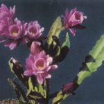 Цветущий кактус 4 150x150 - Цветы