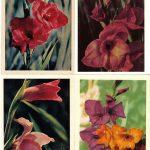 Цветы гладиолусов 001 004 150x150 - Цветы