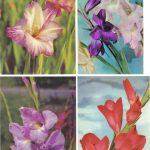 Цветы гладиолусов 009 012 150x150 - Цветы