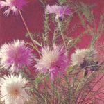 Центаурея 150x150 - Цветы