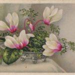Цикламены в вазочке 150x150 - Цветы