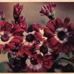 Цинерария 150x150 - Цветы