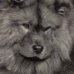 Чау чау 150x150 - Собаки чёрно-белые