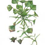 Чилим 150x150 - Различные растения
