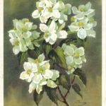 Чубушник Никитский юбилейный 150x150 - Цветы