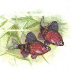 Чёрный барбус 150x150 - Аквариумные рыбки