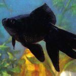 Чёрный телескоп 150x150 - Аквариумные рыбки