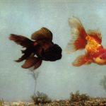 Шапочки 150x150 - Аквариумные рыбки