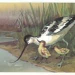 Шилоклювка 150x150 - Птицы