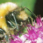 Шмель 150x150 - Прочие насекомые
