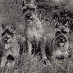 Шнауцеры средней величины 150x150 - Собаки чёрно-белые