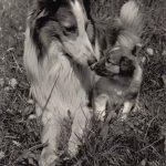 Шотландская овчарка колли 150x150 - Собаки чёрно-белые
