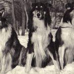 Шотландские овчарки 150x150 - Собаки чёрно-белые