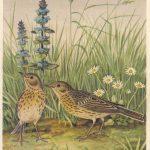 Щеврица луговая 150x150 - Птицы